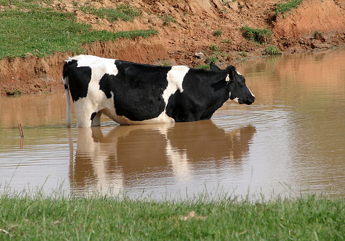 cow water photo
